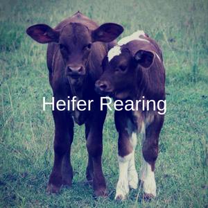 Heifer Rearing