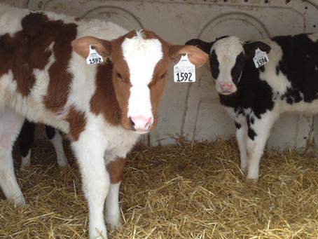 Minimize Pathogen Exposure Promotes Healthy Calves