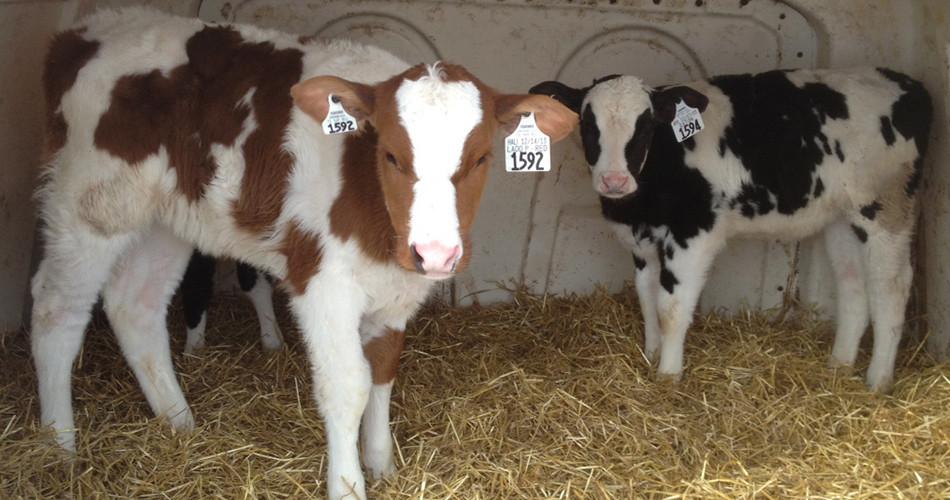 Minimize Pathogen Exposure Creates Healthy Calves