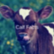Calf Facts