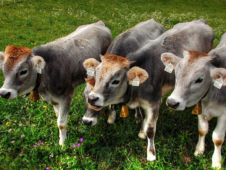 4 Things To Consider For Automated Calf Feeding