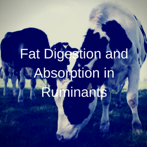 Fat Digestion And Absorption In Ruminants