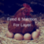 Feed & Nutrition For Layer