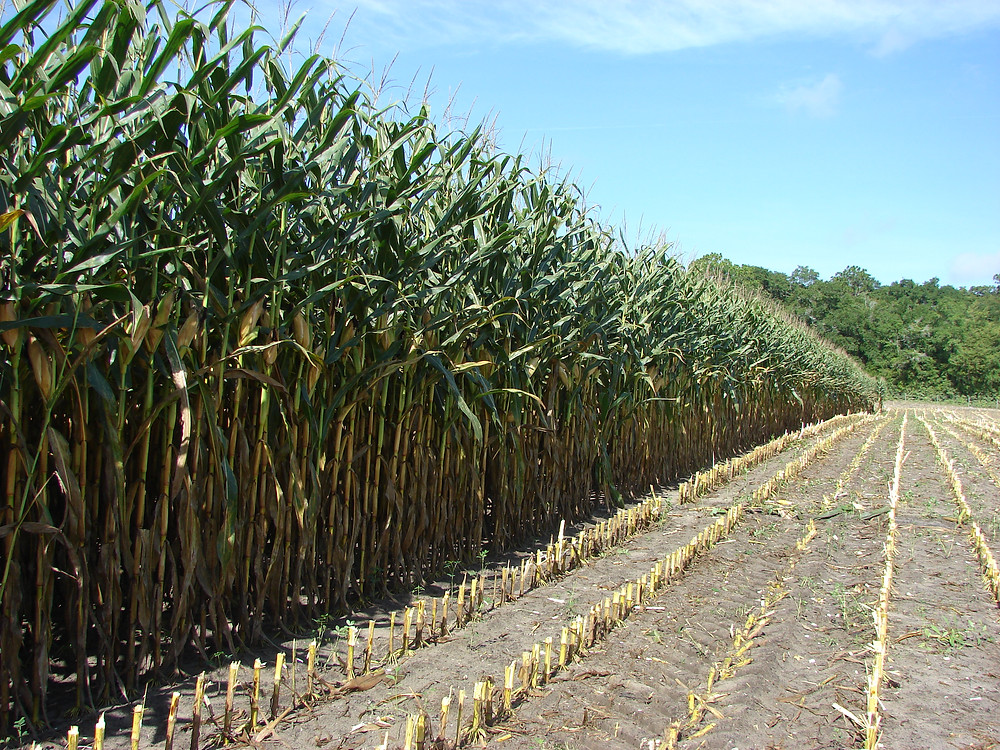Top 5 Tips To Stay Positive Corn Silage Harvest