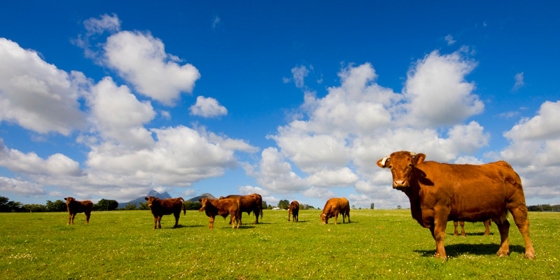 What You Need To Know About Antibiotic Use in Cattle