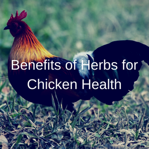Benefits of Herbs for Chicken Health