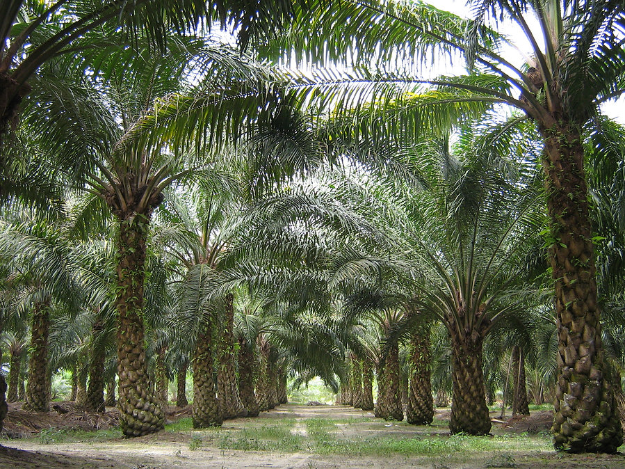 Health And Nutrition Of Palm Oil