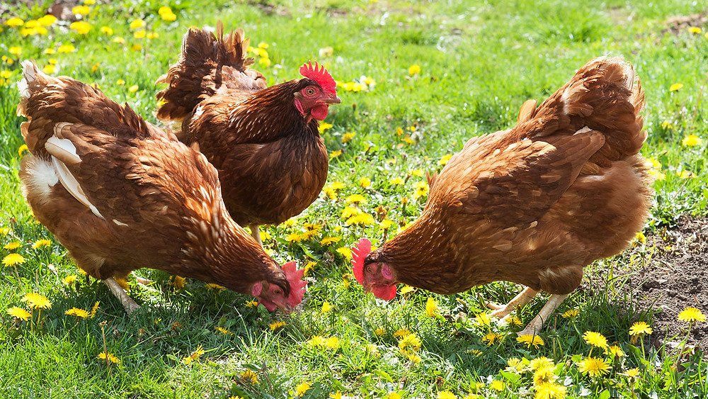 3 Tips To Help Molting Chickens