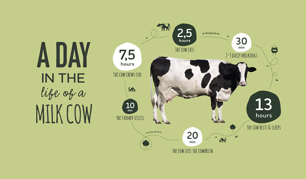 A Day In The Life Of A Milk Cow