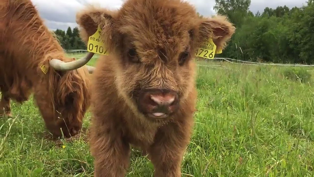 7 Important Areas Of Calf Care