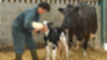3 Qs of Colostrum Management