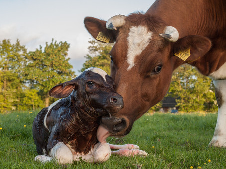 When Is The Best Time To Pair-House Calves?
