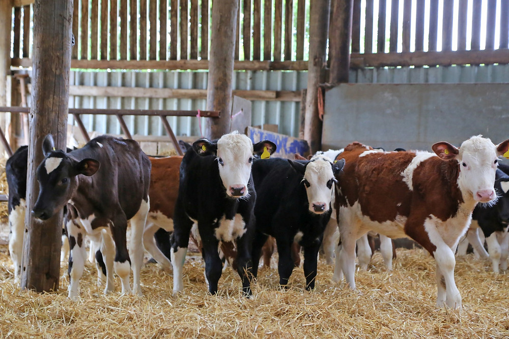 3 Tips To Enhance Post Weaning Heifer Nutrition