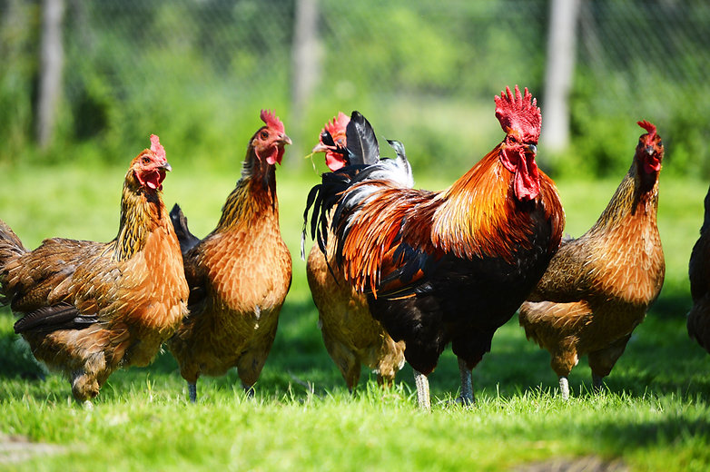 Feed And Nutrition Guide For Poultry