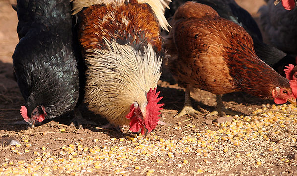 Common Feed Oil Sources Used In Poultry Feed In South Asia Region