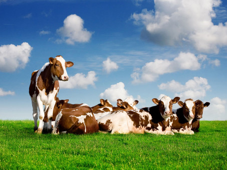 Maintaining Cow's Health During Transition