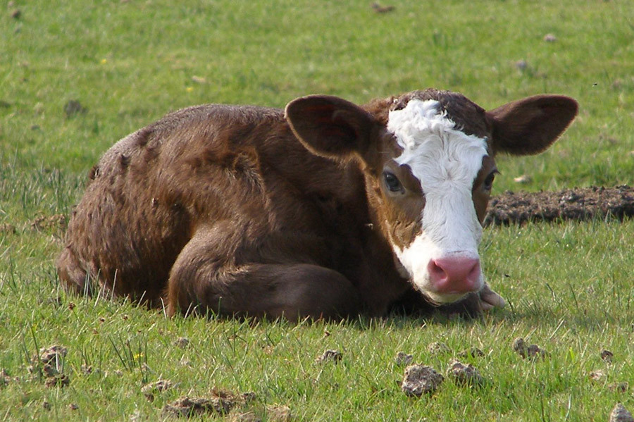 Ensuring A Healthy And Profitable Calf