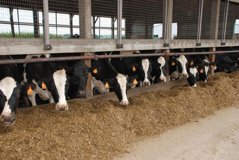 Total Mixed Ration For Dairy Cows