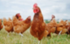Nutrition Guide For Backyard Chicken