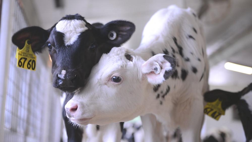 Reducing Stress In Calves