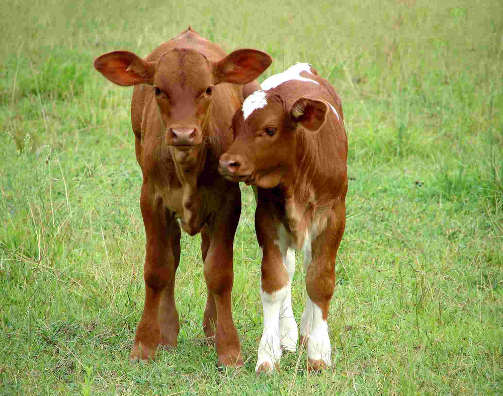 Calves Facing Nutritional Challenges During Summer
