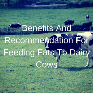 Benefits And Recommendation For Feeding Fats To Dairy Cows