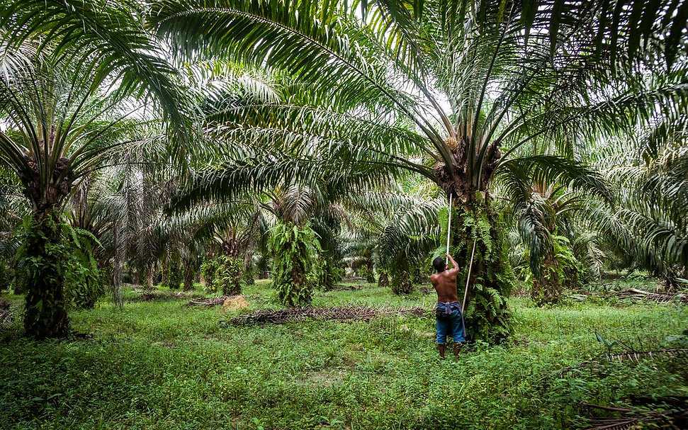 Where Is Palm Oil Grown?
