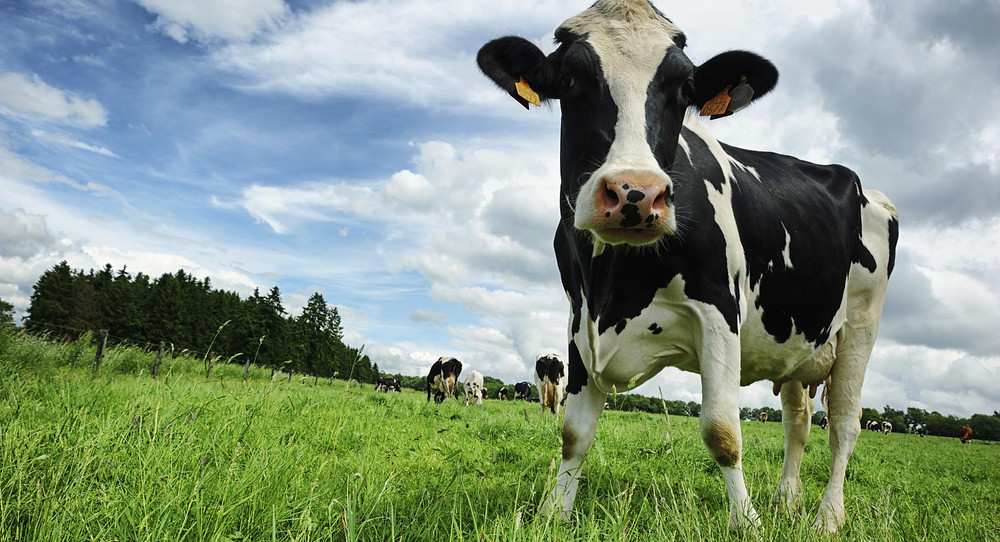 Some Tips To Assess Dairy Cow Behavior
