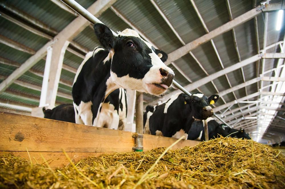 Fibre Requirements For Cows