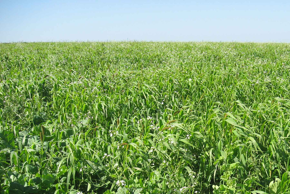 Myth Of High Forage Diets