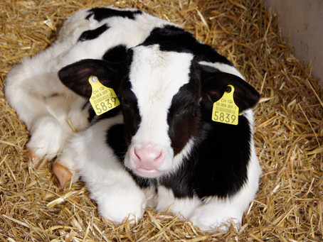 5 Steps To Reduce Calf Scours
