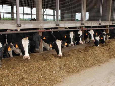 Examining Fresh Cow Nutritional Needs
