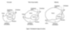 Development stages of a rumen