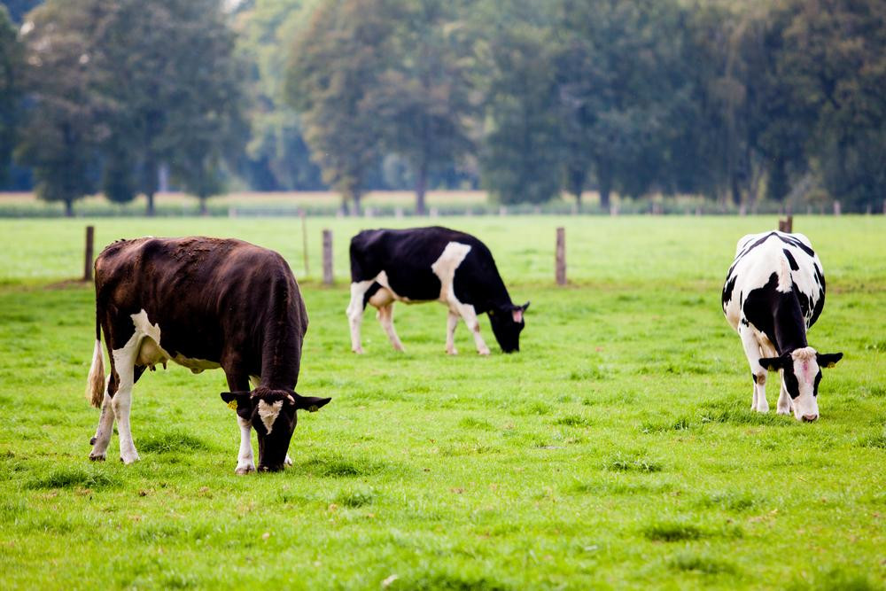 Importance of Cooling Dry Cows