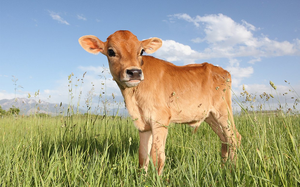 Adjusting Summer Diet For Dairy Cows