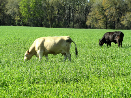 Winter Forage For Cattle