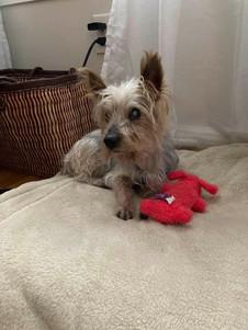 Rudy2 - Yorkshire Terrier.jpg
