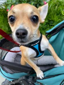 Nellie7 New Doggie Stroller 2021-24.jpg