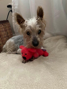 Rudy - Yorkshire Terrier.jpg