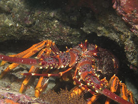 Rock Lobster are in abundance on southern Eyre Peninsula