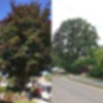 Beech tree, central Cambridge. 3m reduct