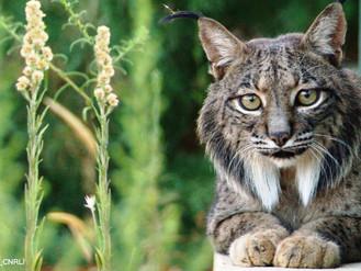 Iberian lynx – The World's Most Endangered Cat