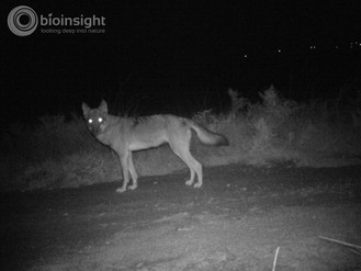 Iberian wolf monitoring