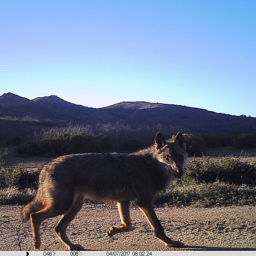 Wolf in camera-trapping