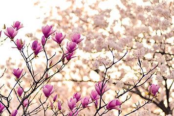 magnolia-2218788_1920.jpg