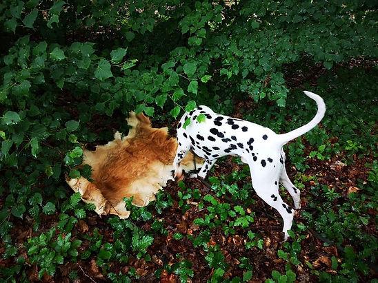 Amundzeen Rose de Gaurt dalmatian stud dog