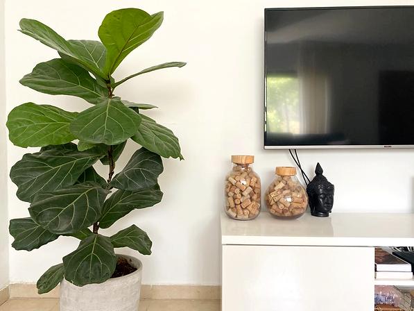 פיקוס כינורי, צמחי בית, ריאה ירוקה