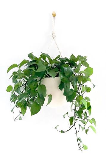 צמח הפוטוס, צמחי בית, צמח נשפך
