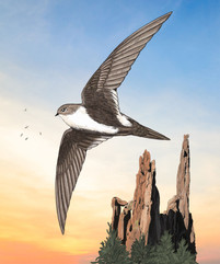 White-throated Swift.jpg