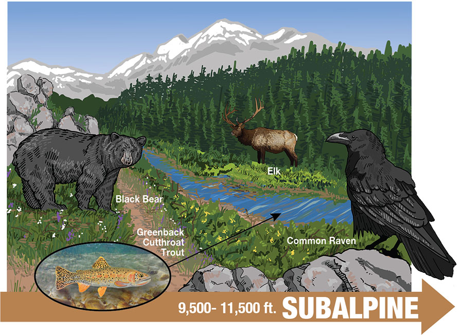 Interpretive Sign Drawing - Subalpine